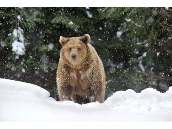 Urso marrom.