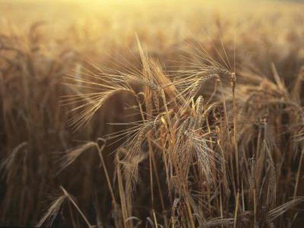 A safra de trigo crescendo.