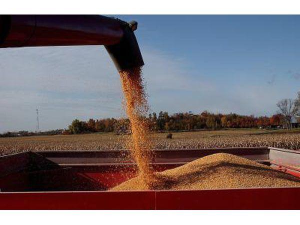 grãos de trigo contêm proteínas.