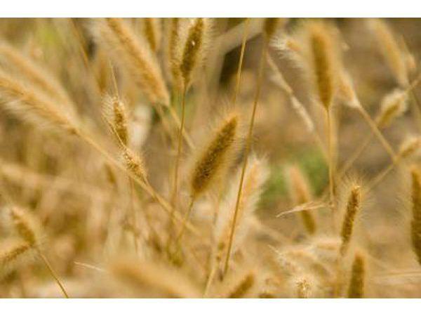 plantas de trigo saudáveis.