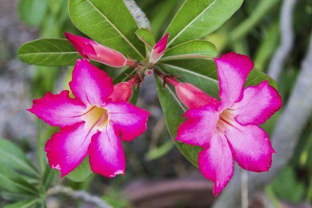 A rosa do deserto floresce o máximo de fevereiro a novembro na Flórida.