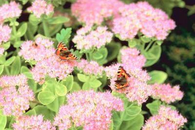 Identificação de floração Suculenta