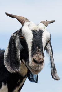 Subsídios para o financiamento de uma fazenda de cabras leiteiras estão disponíveis através do USDA.