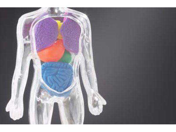 Modelo do corpo`s torso