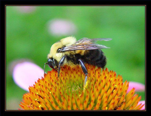 Como é o pólen de abelha Feito?