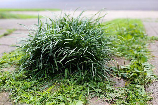 Como crescer anão Mondo grama