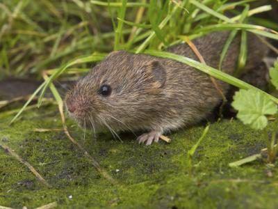 Uma ratazana atravessa um piso coberto de musgo sob lâminas de grama.
