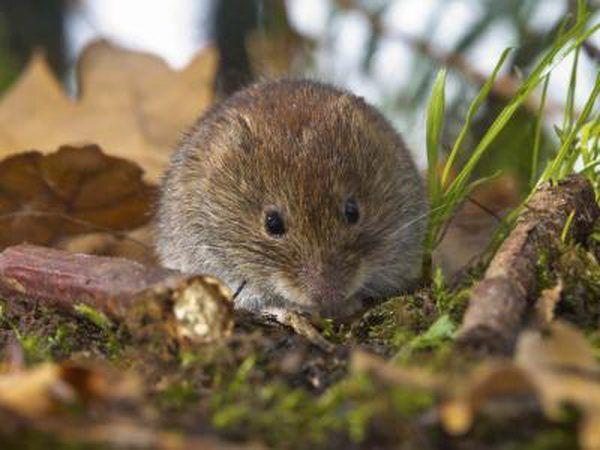 Uma ratazana se senta no chão da floresta.