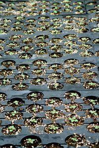 Um proprietário de berçário da planta cresce plantas a partir de plantas com sementes ou de partida.