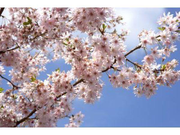 Aqueles com alergias Cottonwood geralmente exibem alergias a outras árvores polinizadores.