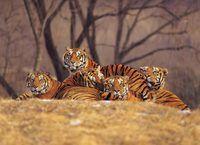 Se trabalhar com animais exóticos como tigres agrada a você, uma carreira como um manipulador animal exótico pode estar nos cartões para você.