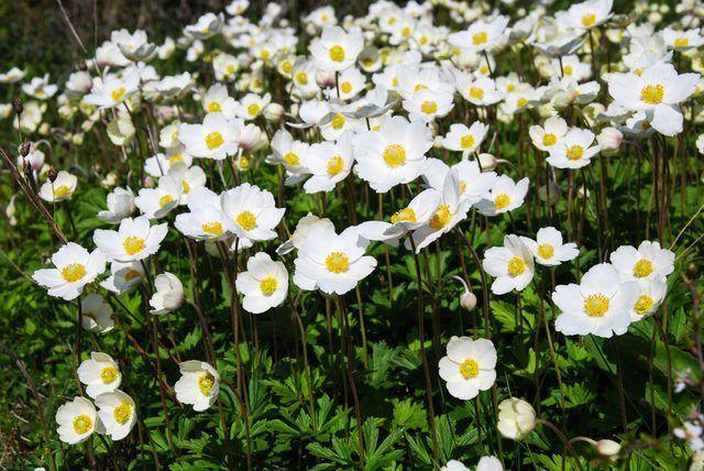 Anêmona-snowdrops florescem no final da primavera.