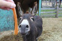 Cenoura realizada em frente de um burro.