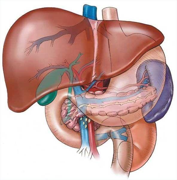 Quais são as funções do fígado durante o processo excretor?