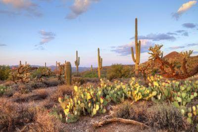 Vários cacto no deserto Sonorian, Arizona