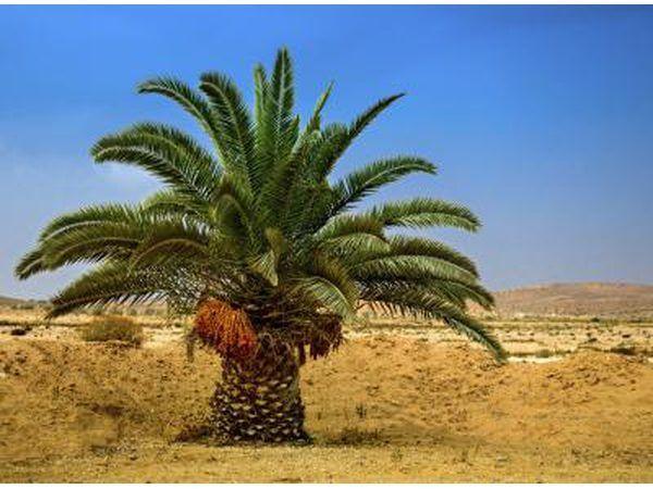 Uma palmeira do deserto com datas em Eilat, Israel